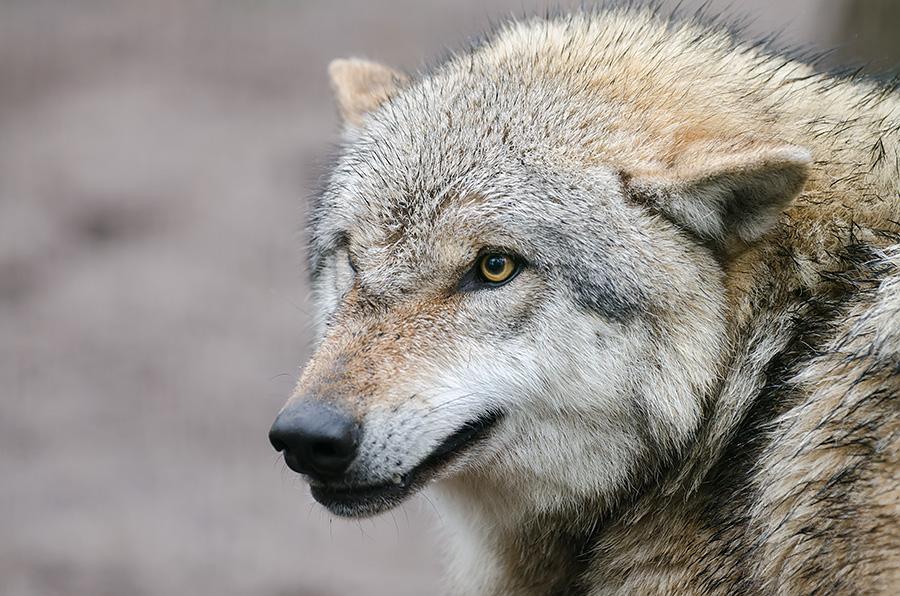 wolfcenter_doerverden-6119-2